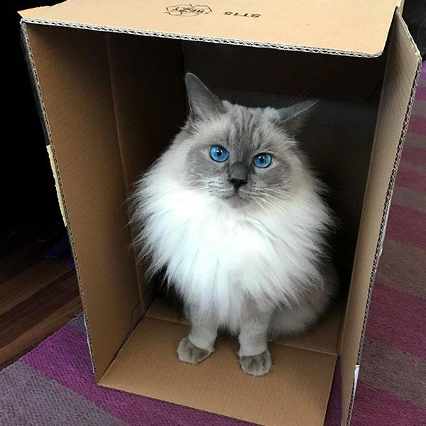 Голубоглазый кот в коробке