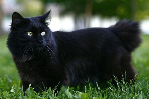 Черный курильский бобтейл