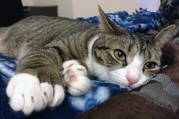Кот с полидактилией