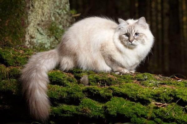 Внешность невской маскарадной кошки