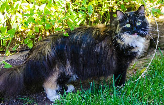 Кошка Софи с самой длинной шерстью в мире