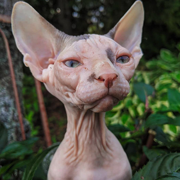 Портретное фото лысой кошки