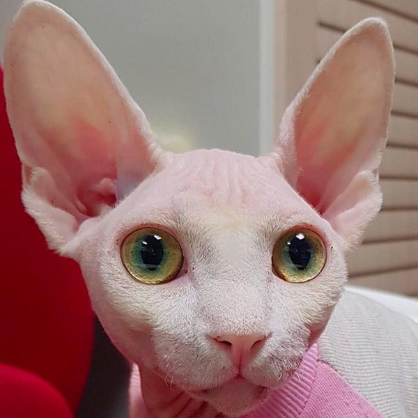 Розовый сфинкс