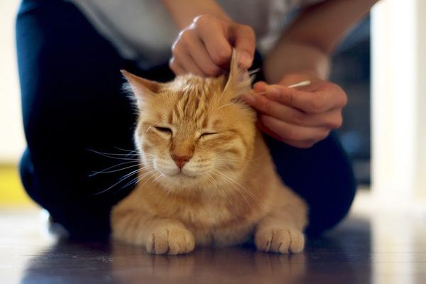 чистка ушей у кота