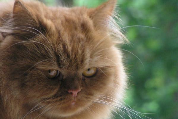 пушистый кот обиделся