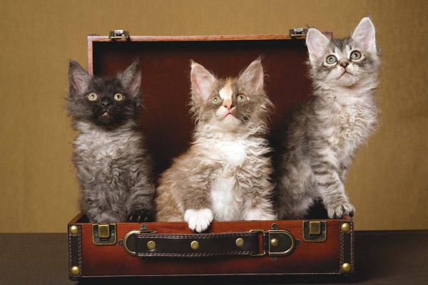 Котята лаперма сидят в чемодане