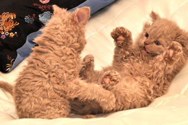 Кудрявые котята играют