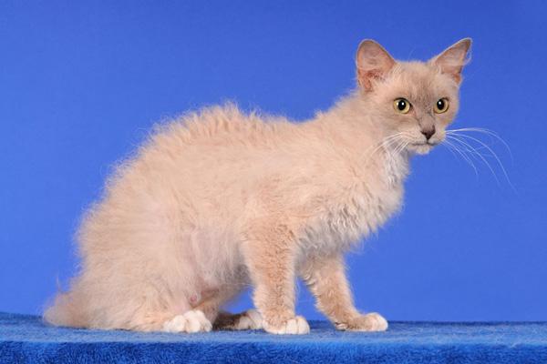 Кудрявый кот кремового цвета