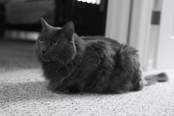 серый кот сидит