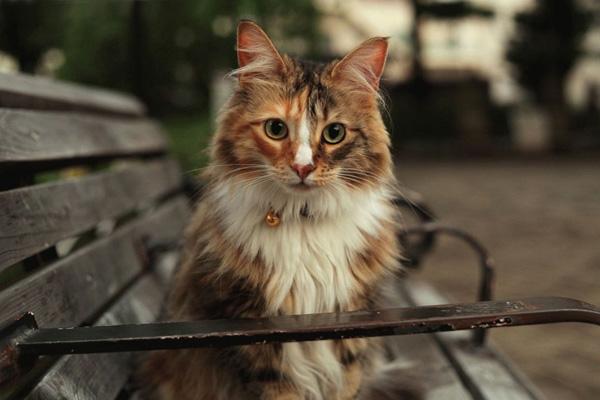 норвежская лесная кошка на лавочке