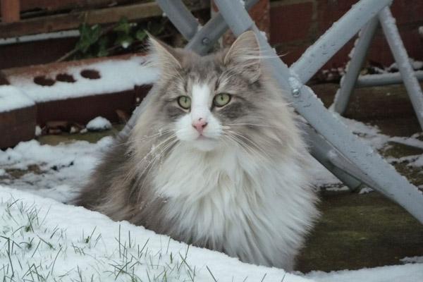 норвежская лесная кошка в снегу