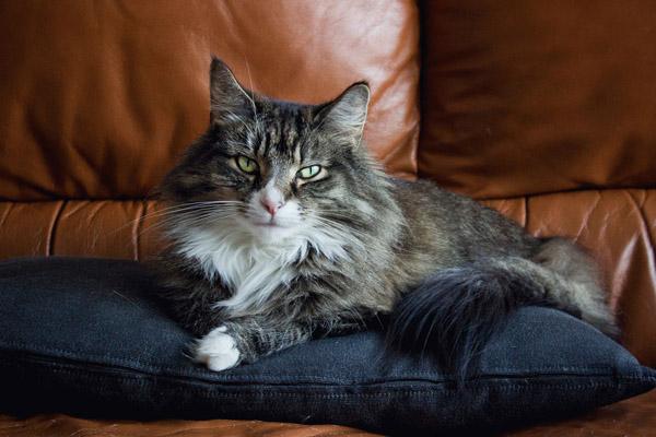 норвежская лесная кошка на подушке