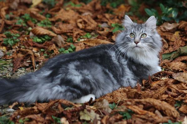 норвежская лесная кошка в лесу