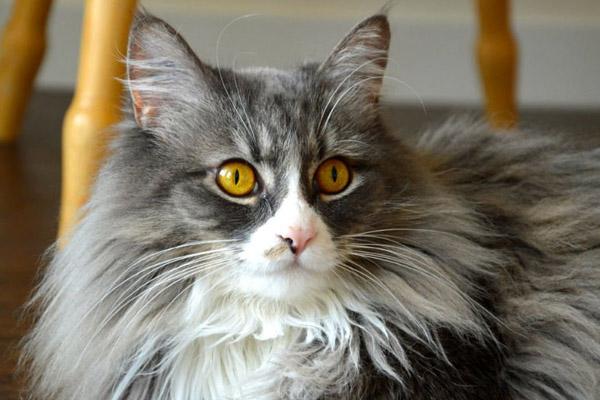 серая норвежская лесная кошка с белым пятном