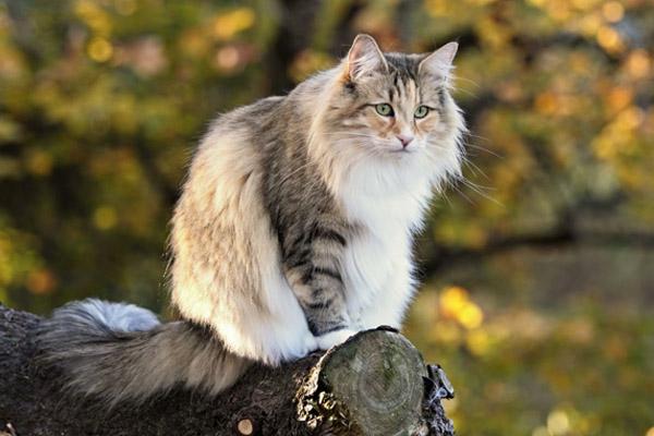 норвежская лесная кошка на дереве