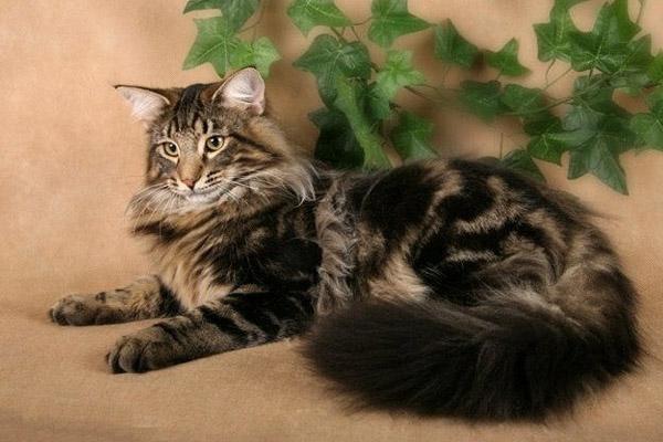 мраморная норвежская лесная кошка