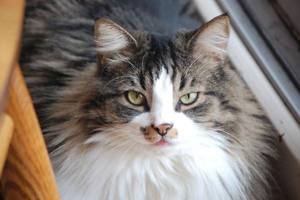 пятнистая норвежская лесная кошка
