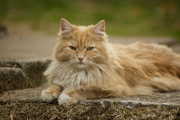 норвежская лесная кошка рыжая