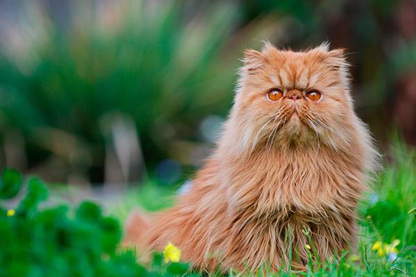 персидский кот на траве