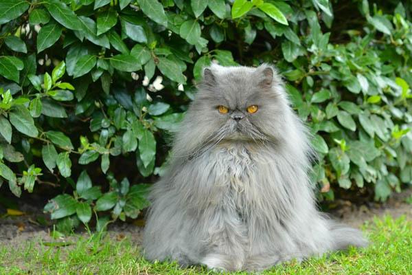 серый дымчатый персидский кот