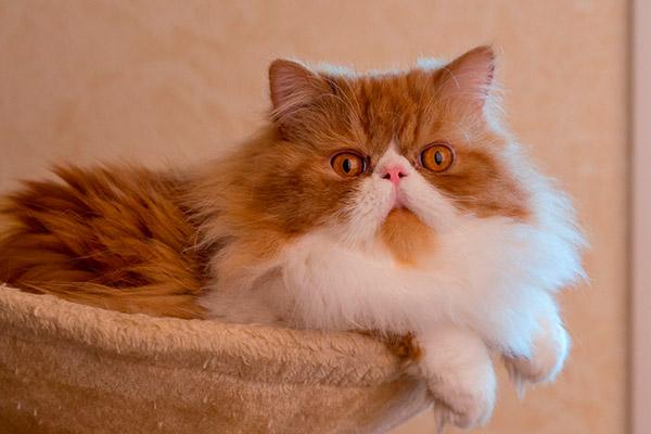 рыжая с пятнами персидская кошка