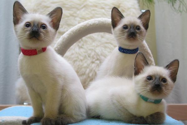 сиамские котята