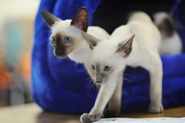 сиамские котики