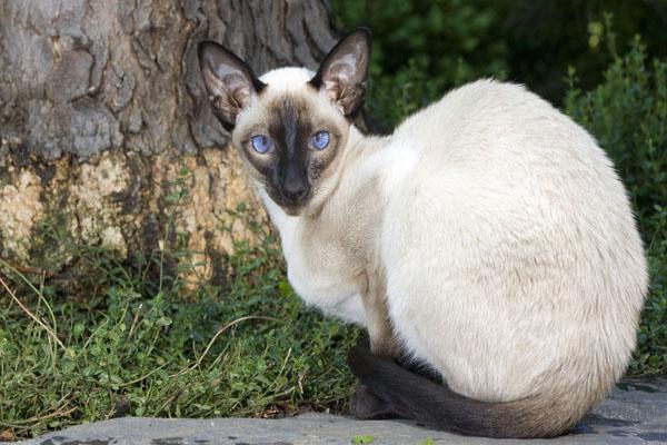 красивый сиамский кот