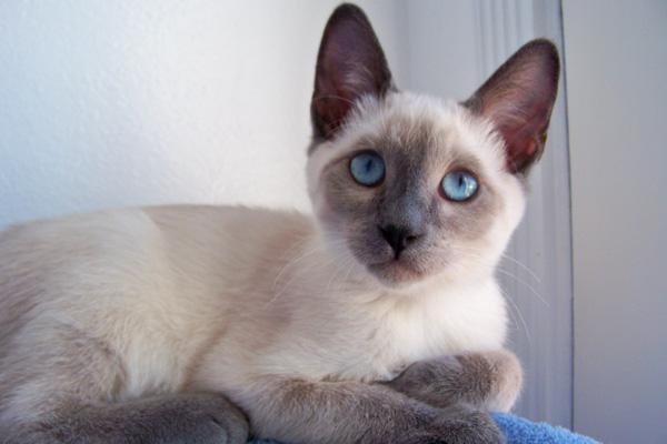 сиамская кошка Блю-поинт