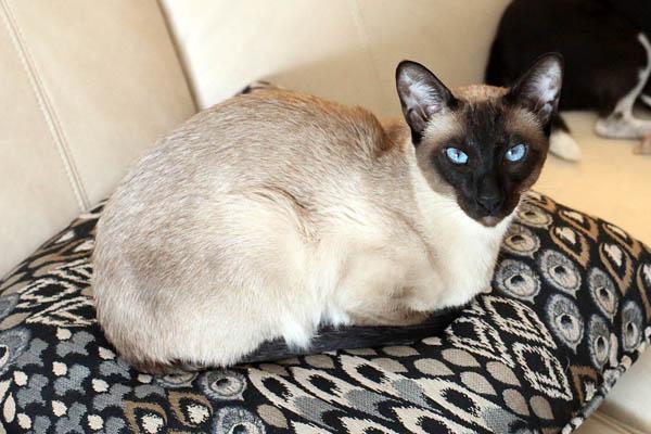 шоколадный сиамский кот