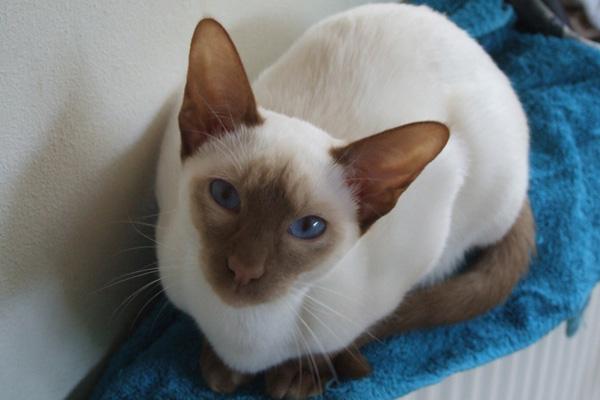 сиамская кошка циннамон