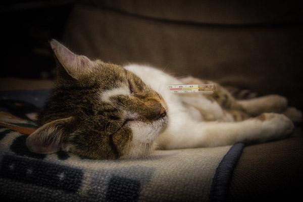 болеющий кот