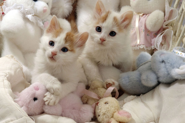 турецкий ван котята