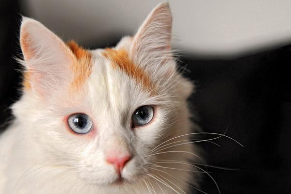 кот турецкий ван