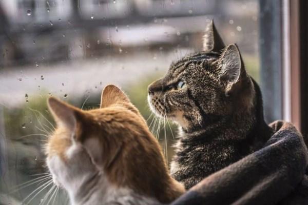 Два кота смотрят на дождь