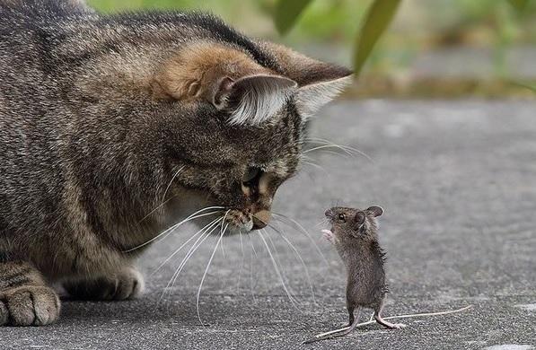 Кошки не любят ловить крыс