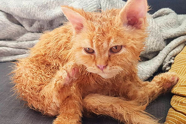Злой мокрый рыжий кот