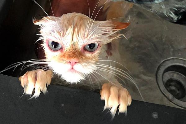 Кот отомстит после ванной