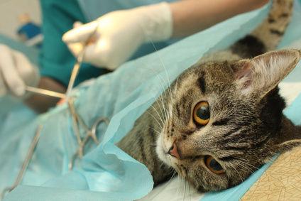 Стерилизация кошек: что это и зачем нужно?