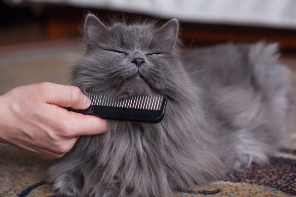 Вычесывают длинношерстного кота