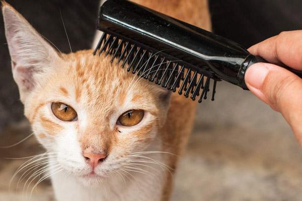 Вычесывают короткошерстного кота