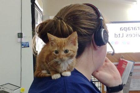 В Новой Зеландии нашли котёнка-карлика