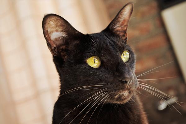 Ориентальная кошка: описание и характер породы, особенности ухода