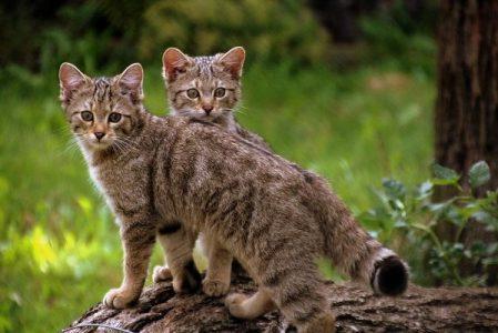 В шотландских горах нашли котят редкой породы