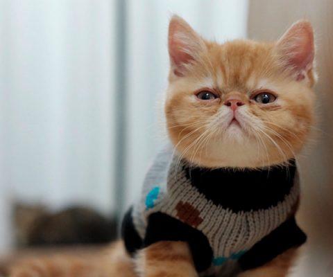 Кошки в кофтах: милая подборка из 15 фото