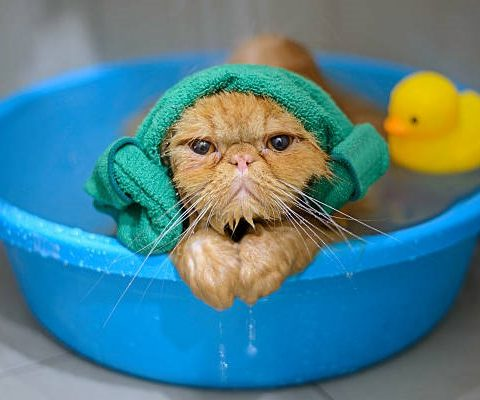 Как купать кота без истерик и травм