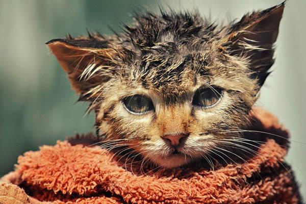 Перхоть у кошки. Причины и лечение