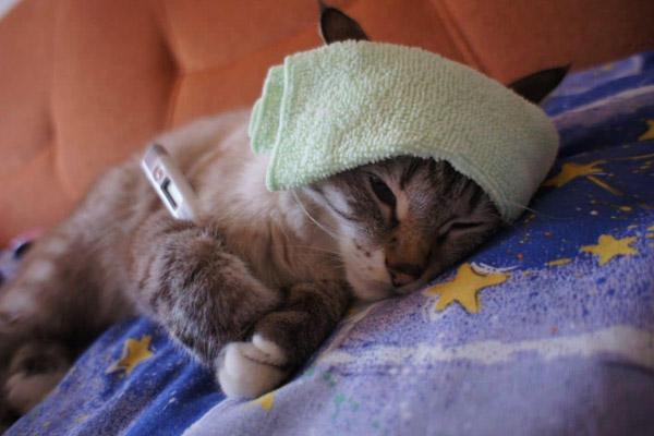 Как померить кошке температуру