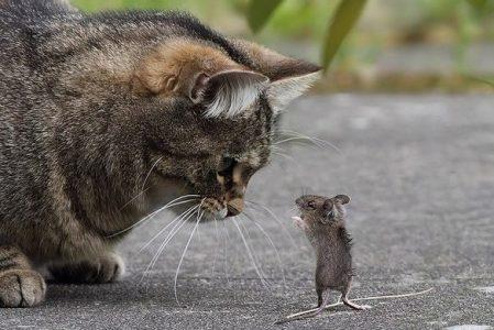 Кошки оказались плохими охотниками на крыс