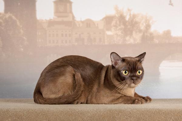 Шоколадный кот